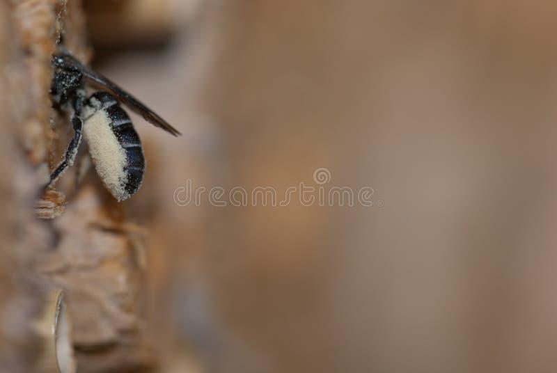 Rapunculi solitário fêmea de Osmia da abelha de pedreiro imagens de stock royalty free