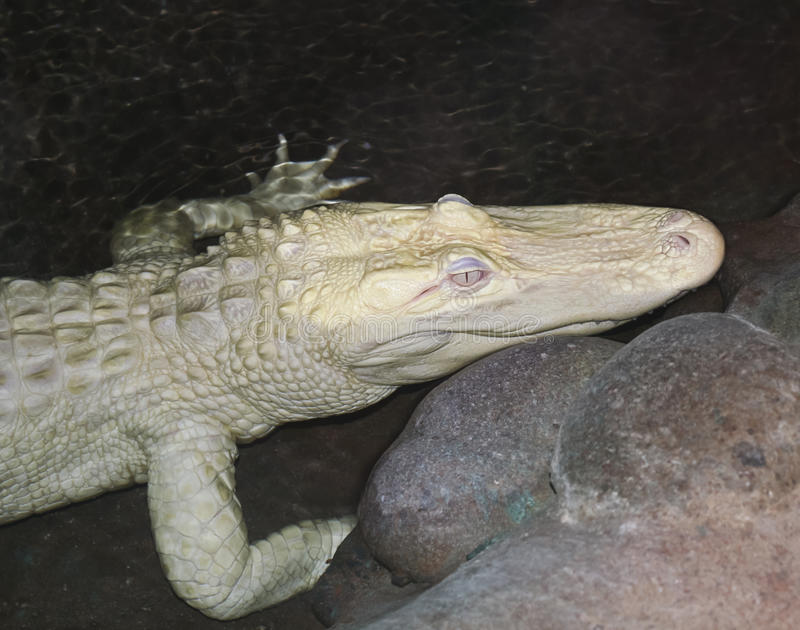 Download A Rare Albino American Alligator Lurks At Night Stock Image - Image: 25378305