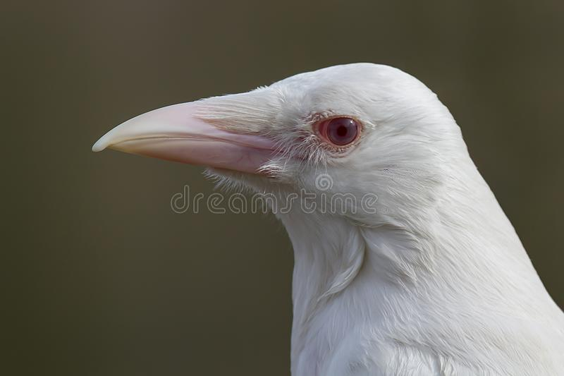 Rare albino crow. A very rare and close profile portrait of the head of an true albino crow looking to the left royalty free stock photos