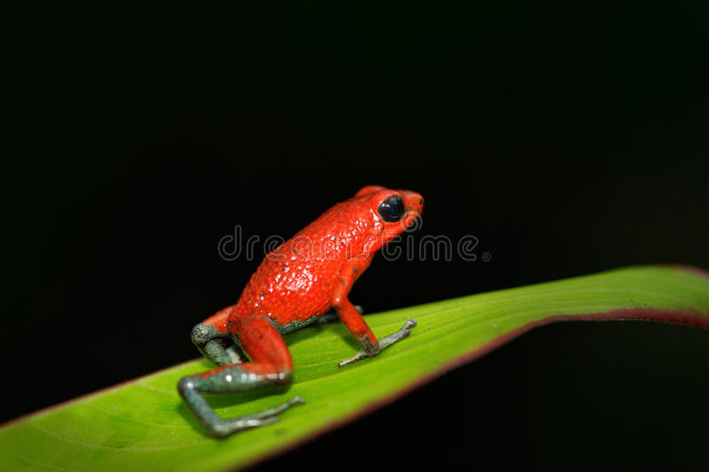 Rare Amphibien in the tropic forest. Red poisson frog Granular poison arrow frog, Dendrobates granuliferus, in the nature habitat,. Costa Rica stock photography