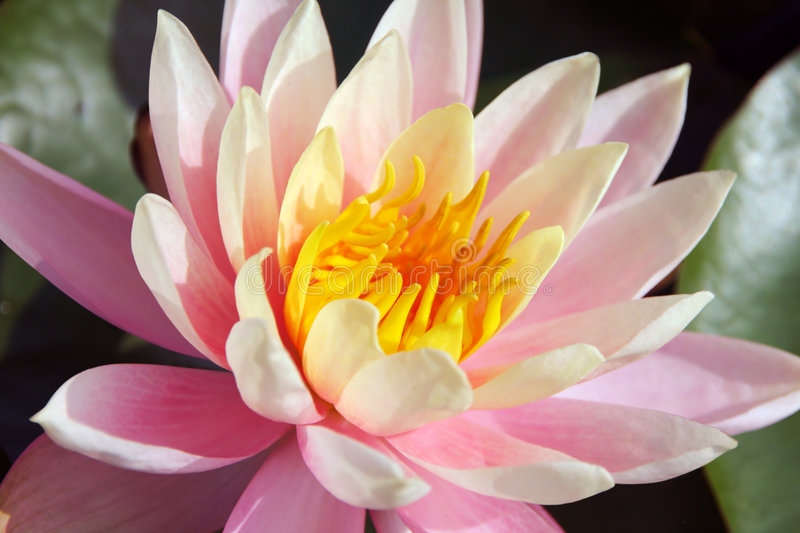 Rare beautiful tropical water lily stock image