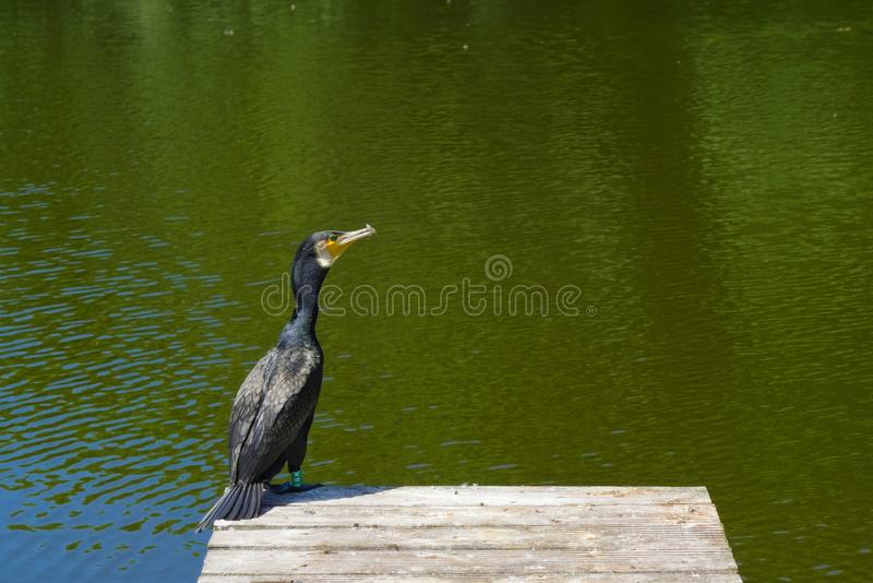 Rare bird spotted in downtown amsterdam part of animal protection program of holland royalty free stock images