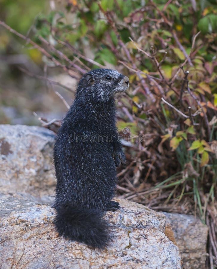 Download Rare Black Marmot Standing Up Stock Image - Image: 34486545