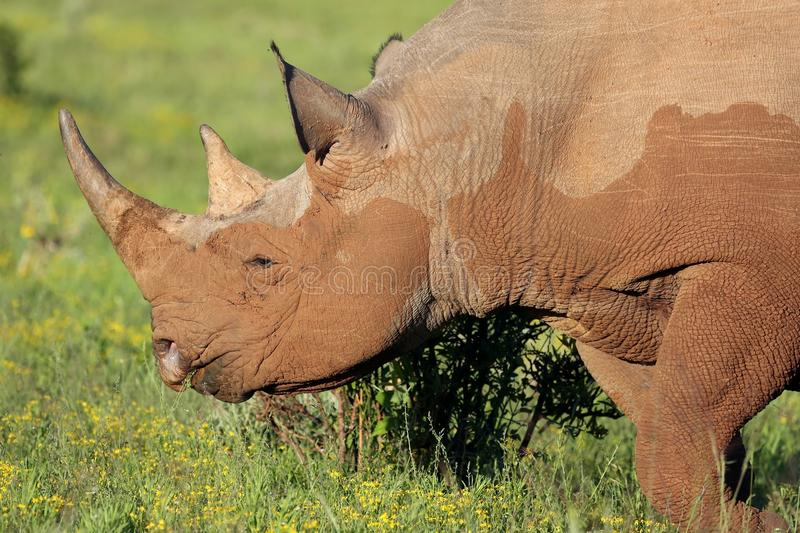 Rare Black Rhino. From Africa eating on the green plants stock photos