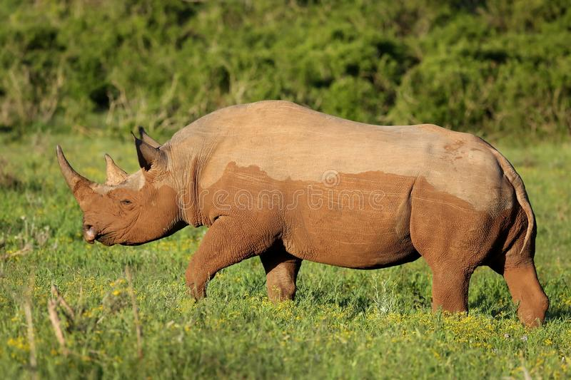 Download Rare Black Rhino stock image. Image of horns, large, african - 35845955