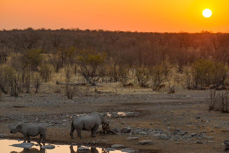 Rare Black Rhinos drinking from waterhole at sunset. Wildlife Safari in Etosha National Park, the main travel destination in. Namibia, Africa stock photos