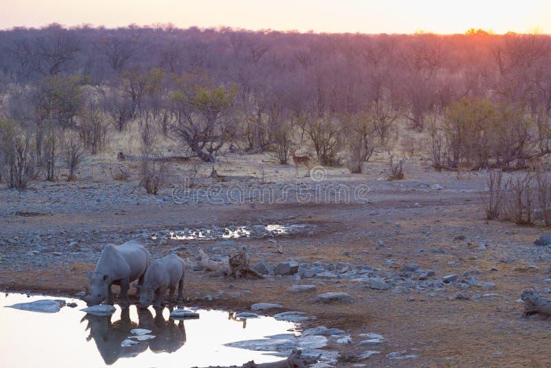 Rare Black Rhinos drinking from waterhole at sunset. Wildlife Safari in Etosha National Park, the main travel destination in Namib. Ia, Africa stock photography