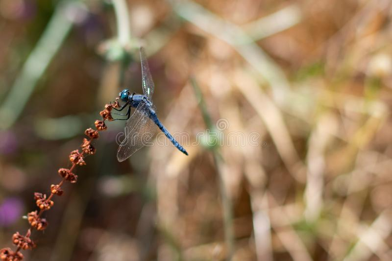 Rare blue and black striped dragonfly known as `coenagrion mercuriale` is sitting on brown plant stock photos