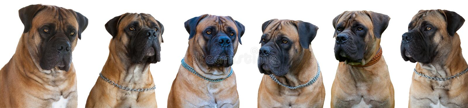 A rare breed of dog - the Boerboel South African Mastiff. Six red dogs  on white background, isolated, close up. A rare breed of dog - the Boerboel South African royalty free stock photo