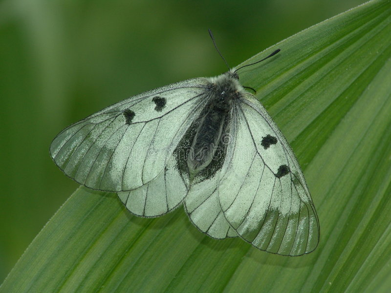 Download The rare butterfly. stock photo. Image of papilionidae - 483574