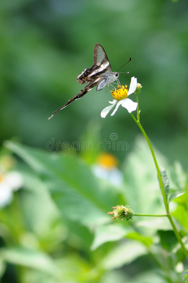 Rare Butterfly (white dragontail) royalty free stock image