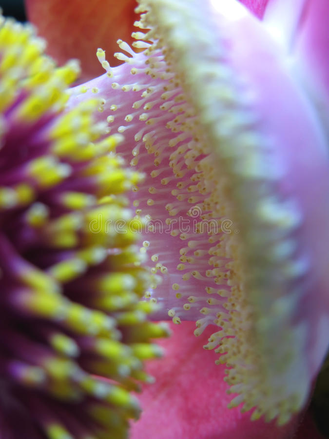 Download Rare Cannonball Flower Macro Stock Image - Image: 32057305