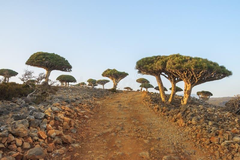 Rare endemic dragon trees , bottle trees royalty free stock photos