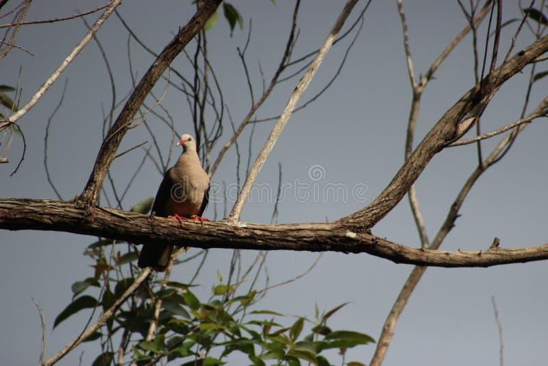 Rare, endemic Pink pigeon Nesoenas mayeri of Mauritius royalty free stock photography