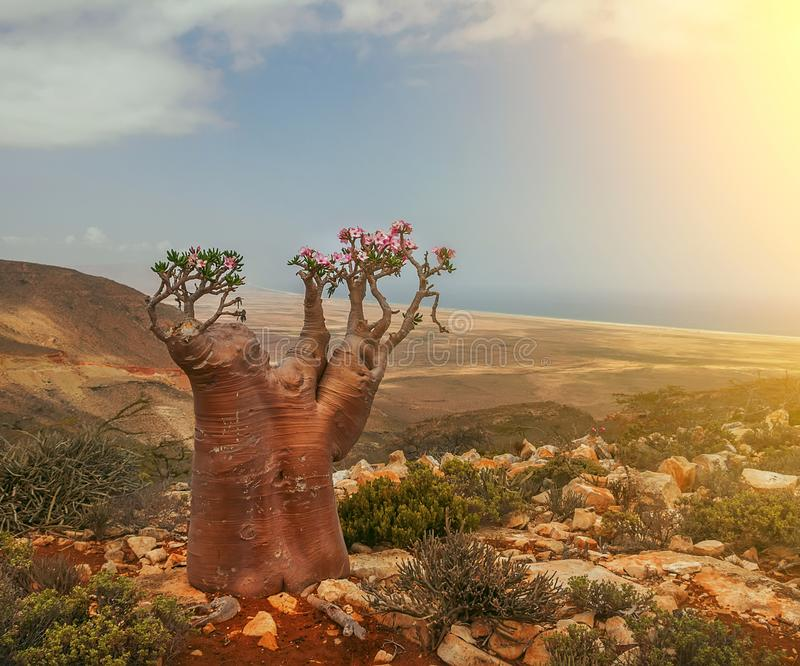 A rare endemic plant is a bottle tree with delicate pink flowers royalty free stock photo