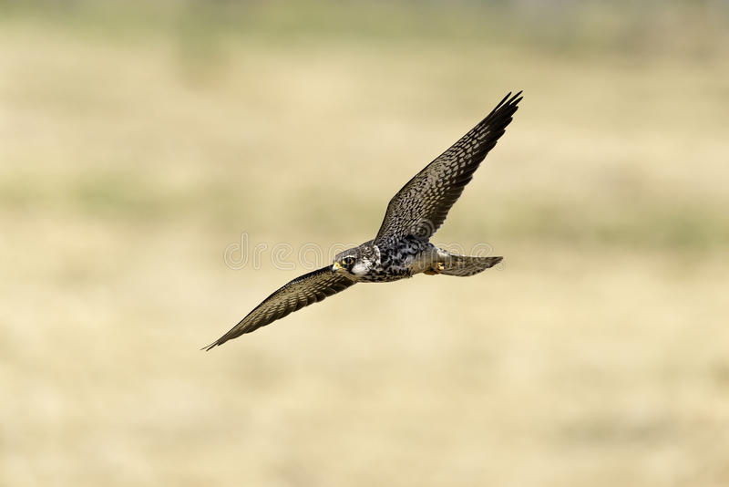 Rare falcon flying in nature stock photo