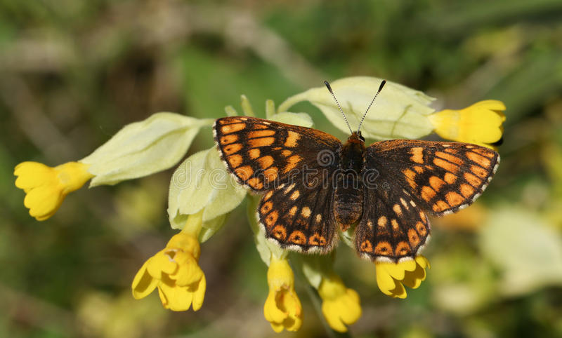 A rare female Duke of Burgundy Butterfly Hamearis lucina perched on a cowslip flower Primula veris. royalty free stock images