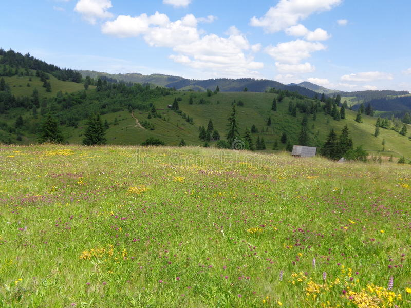 Rare flower-rich hay meadows in Gyimes, Transylvania royalty free stock images