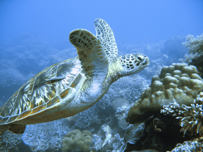 Rare green sea turtle. Underwater photo of endangered rare green sea turtle swimming in clear blue water above a tropical coral reef on a scuba diving adventure stock photography
