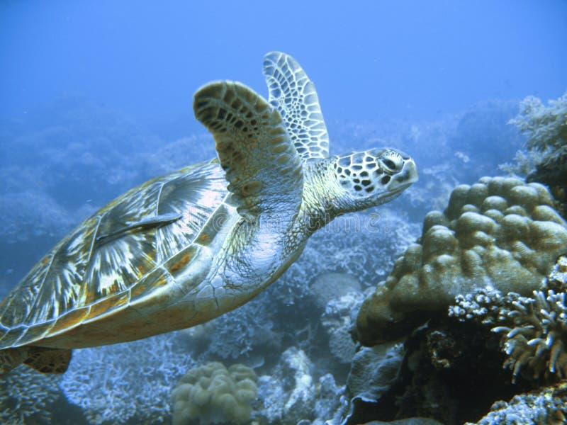 Rare green sea turtle stock photography