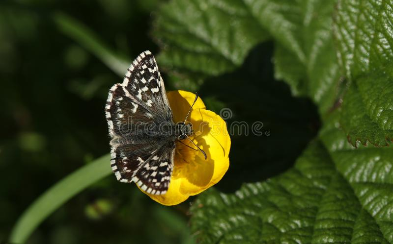 A pretty Grizzled Skipper Butterfly Pyrgus malvae nectaring on a buttercup flower. A rare Grizzled Skipper Butterfly Pyrgus malvae nectaring on a buttercup royalty free stock images