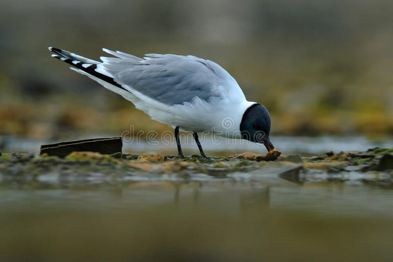 Rare gull from north of Europe, Larus sabini, Sabine`s Gull, Xema sabini. Bird on the ocean coast. White gull with black head. Svalbard, Norway stock images