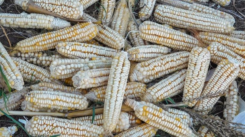 Rare Heirloom White Dent Corn. Rare Heirloom Hickory Cane Corn non GMO White Dent Corn Open Pollinated 8-Row royalty free stock photos