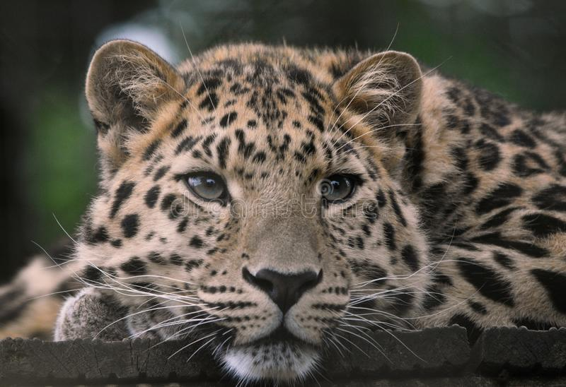 Amur Leopard with wistful eyes. A rare and highly endangered amur leopard Panthera pardus orientalis gazes wistfully into the distance as if day dreaming