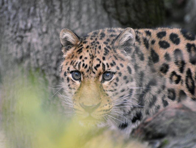 Leopard eyes royalty free stock photos