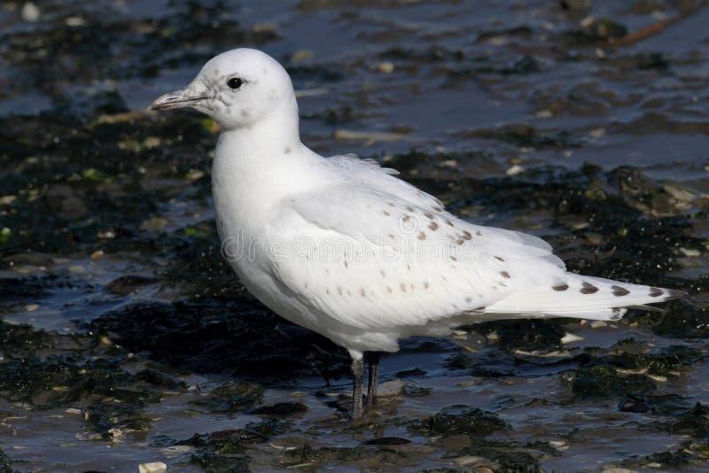 Rare Ivory Gull (Pagophila eburnea) stock photo