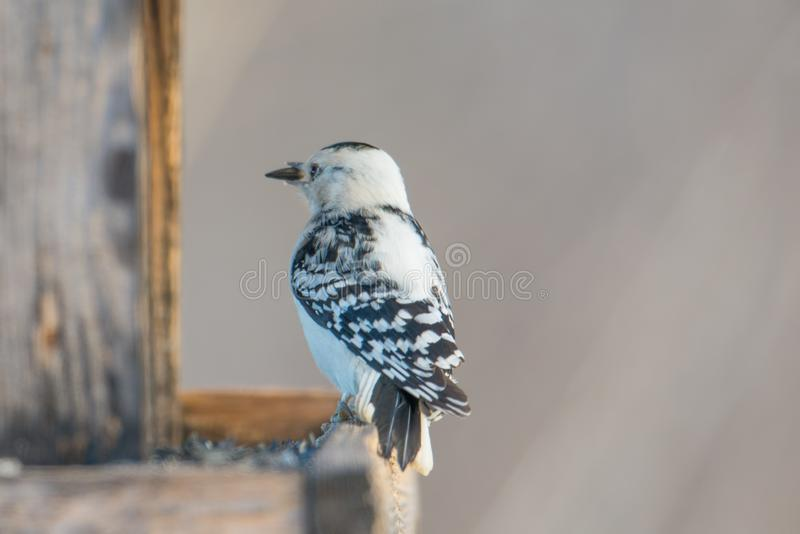 Rare leucistic downy woodpecker - partial loss of pigment in this woodpecker - seen at the visitor center for the Minnesota Valley. National Wildlife Refuge stock images