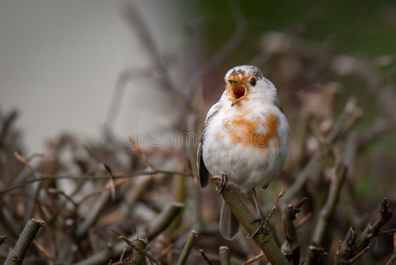 Rare leucistic robin singing royalty free stock photography