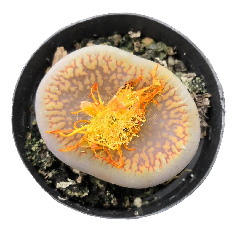 Rare Lithops Living Stone Succulent With Flower Isolated From Background stock photography
