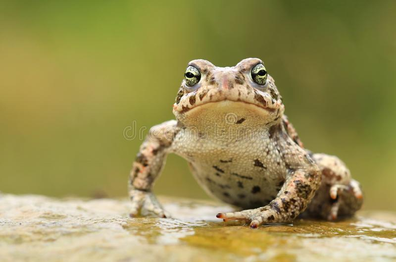 Rare natter jack toad Epidalea calamita. On stone stock photography