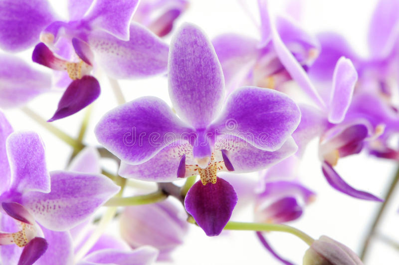 Download Rare Orchid Backgound Royalty Free Stock Photo - Image: 13928295