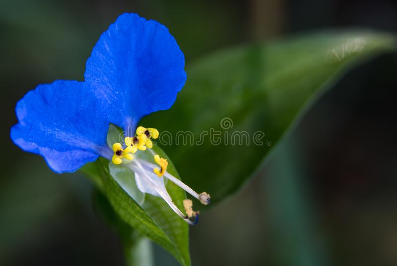 Very Small Blue Petal Wild flower with Three Yellow center flowers. A rare picture of a very small and interesting blue petal wild flower with three additional royalty free stock photography