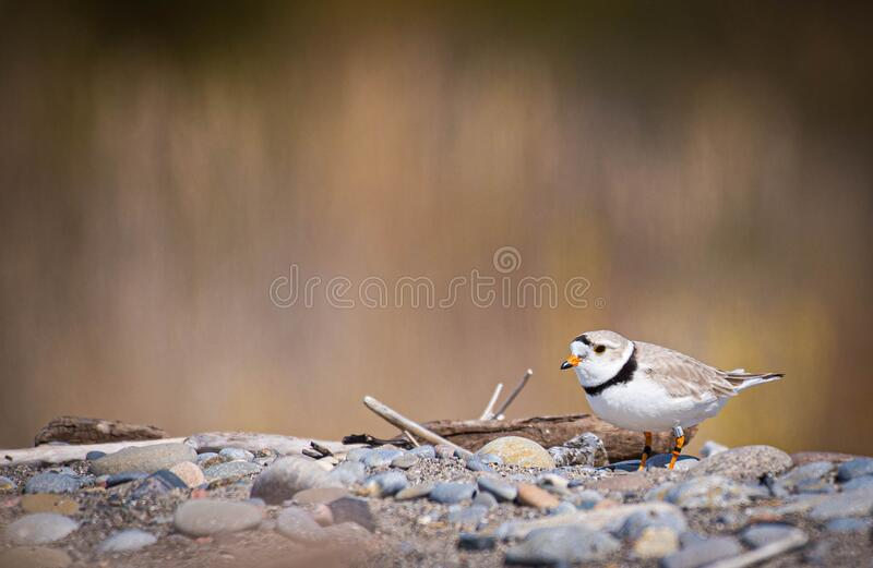 The rare piping plover stock images