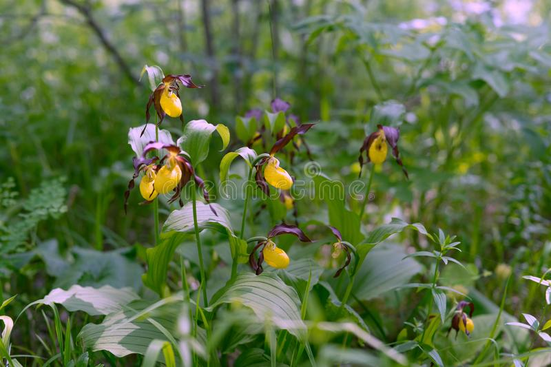 Rare specieswild yellow orchids grandiflora Lady`s Slipper Cypripedium calceolus in the forest royalty free stock photos