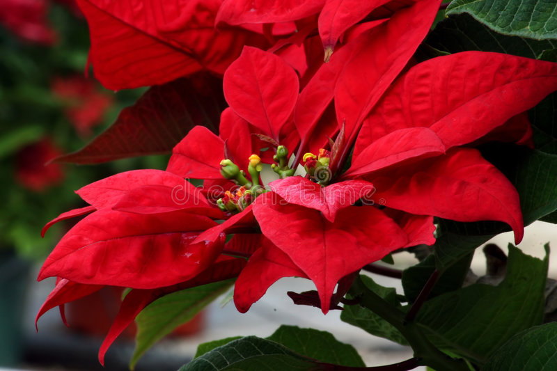 Download Rare Poinsettia Stock Photography - Image: 79652