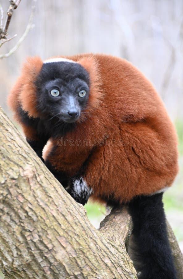 A rare red ruffed lemur on a tree. A rare and cautious red ruffed lemur sitting on a tree stock photography