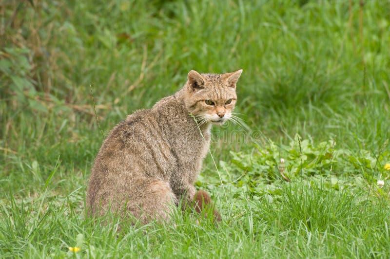 Rare Scottish Wildcat stock images