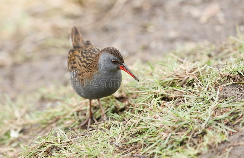 A stunning secretive Water Rail Rallus aquaticus searching for food along the bank of a lake. stock photography