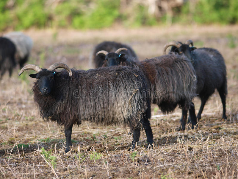 Download Rare Sheep stock image. Image of breed, graze, trees - 29607673