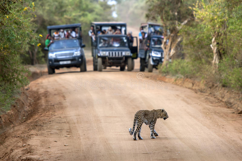 A rare sight as a leopard crosses a dirt road within Yala National Park in Sri Lanka. Yala National Park is located near Tissamaharama in Sri Lanka stock photos