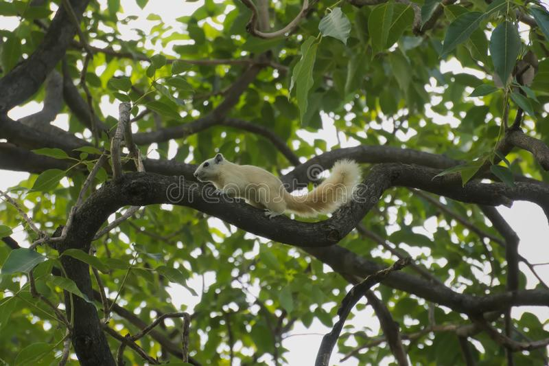 A rare sight of a young white squirrel, scampering along a high branch, in search for food. royalty free stock images