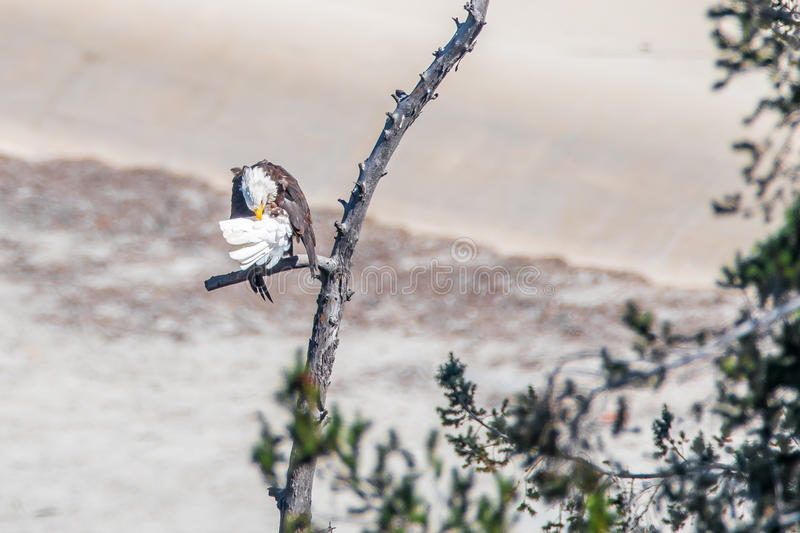 Rare Sighting American Bald Eagle in Southern California Series 10 royalty free stock photography