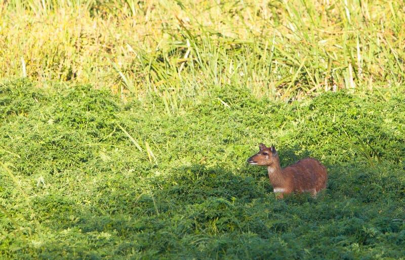 Download The Rare Sitatunga Antelope Stock Image - Image of kenia, hair: 24346393