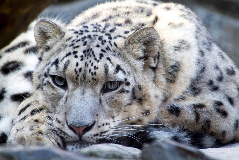 The Rare Snow Leopard. At wildlife portrait royalty free stock photos