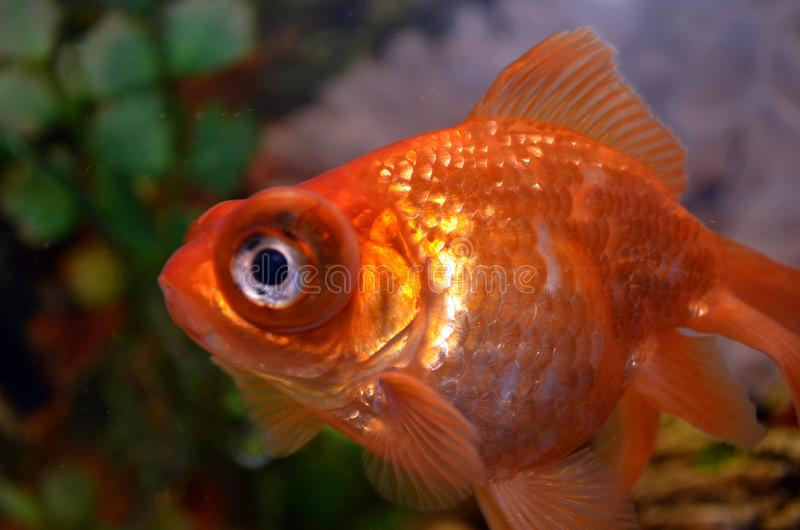 A rare species of goldfish fleece floats in our home aquarium royalty free stock photo