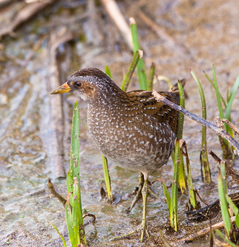 The rare Spotted Crake. The Spotted Crake (Porzana porzana) is a rare and secretive hiding waterbird which is mostly heard rather than seen, here in the royalty free stock images